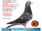 BEL14-2153807 ERKEK / ORIJINAL ERIK LIMBOURG SEDNA I TORUNU