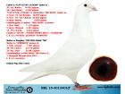 EL15-4013401 ERKEK / ORİJİNAL PİPA ELİTE CENTER MISS MAGIC 700 OĞLU !!