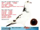 BEL15-4013480 DİŞİ / ORİJİNAL PİPA ELİTE CENTER INBRED GLADYATÖR !!!