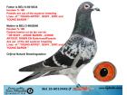 BEL16-6013442 ERKEK / HOUBEN % 100 NATUREL BREEDINGSTATION