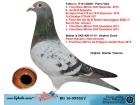 BG16-09552 EDİŞİ / BABASI 3. FİNAL 460 KM ANNESİ 7. FİNAL ALGARVE GOLDEN RACE