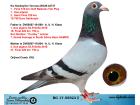 BG17-55523 DİŞİ / ORJ COMB. KSJ ALFON KLAAS % 100 ANNE AS 1 BABA AS 1