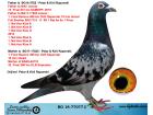 BG18-77077 DİŞİ / ORJ PETAR KIRIL RAPONSKI INBREED SAMPİYON BABA KIZ CALISMA