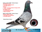 BG19-22283 DİŞİ / OR. DIMITAR TODOROV INBREED INSIGHT 1 ACE PİGEON OLR SOFIA
