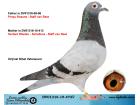DV01316-15-473 DİŞİ / HERBERTWİEDEN - SCHELLENS - STAFF VAN REET