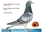 DV01600-13-706 ERKEK / RONDAGS YAVRUSU 14. FİNAL OLR DERBY16 2016