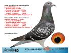 DV0188-20-851 DİŞİ / INBREED HURRICAN 51 !!!