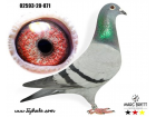 DV02593-20-871 DİŞİ / INBREED HURRICANS ONE LOFT RACE KAZANAN SOY