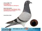 DV03220-21-379 / BABASI INBRED FIGO ANNESİ D.VAN DE BLUCK-GABY-REYNAERT