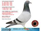 DV04501-18-17 ERKEK / KENDİSİ SOFİA OLR YARIŞMIŞ KARDEŞİ SOFİA FİNAL 5. & YARI FİNAL 7.
