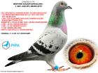 """DV06720-10-175 ERKEK / BROCKAMP - KARDEŞİ """" GOLDEN BARCELONA """" 1 OLYMPIAD MARATON 2011"""