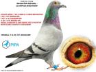 DV06720-10-239 DİŞİ / ORJ P. & DR. H.P. BROCKAMP MISTRAL KIZI EURO DIAMOND TORUNU