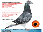 DV07212-16-25 DİŞİ / BABA DE RİJCK WALTER ANNESİ BLAUE AS KIZI