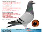 DV07832-16-3 DİŞİ / ERKEK KARDEŞİ 1. FİNAL 505 KM OLR ALGARVE GOLDEN RACE 2015