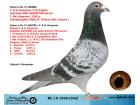 NL15-1890120 ERKEK / BABASI KOOPMAN - FLOR ENGELS - ANNESİ ORJ KOOPMAN