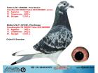 NL15-1890155 DİŞİ / INBRED PROS ROOSENS FREDDY !!! DEN DROMER SABLON