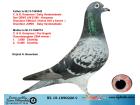 NL15-1890226 DİŞİ / KOOPMAN - GABY - FLOR ENGELS