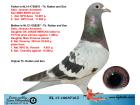 NL17-1065716 DİŞİ / GEBR. JANSSEN ARENDONK % 100