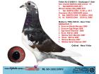 NL20-1221149 DİŞİ / BABASI BARCELONA ŞAMPİYON TORUNU- ANNESİ BERGÜZAR !!!