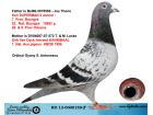 RO13-0000159 ERKEK / BABASI SUPERMAN II OGLU ANNESİ INBREED KANNIBAAL