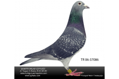 TR-06-37086 dişi STİCHELBAUT 1-/ 750 km kzı