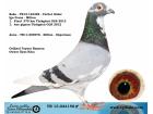 TR-13-024150 ERKEK / BABASI TÜRKGÜCÜ OLR 1. FİNAL 375 KM 1. AS GÜVERCİN - İGO FRANS -MİLTON - SÜPERMAN