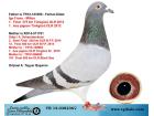 TR-14-038236 DİŞİ / 1. FİNAL 375 TÜRKGÜCÜ ER. - 1. ACE PİGEON TÜRKGÜCÜ ER.
