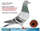 TR-17-022068 DİŞİ / HOREMANS - AD SCHAERLAECKENS