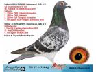 TR-17-147224 ERKEK / BABASI AD SCHAERLAECKENS 59. FİNAL 430 KM KALİMANCİ