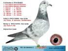 TR-18-004001 DİŞİ / JOS THONE - VEREECKE - VANDERWİELEN KARDEŞİ 1. AS GÜVERCİN