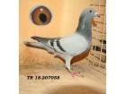 TR-18-207058 DİŞİ AS güvercin uçan bir soy