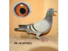 TR-18-207251 DİŞİ De Rauw Sablon soylu