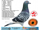 TR-19-058487 ERKEK / GER OĞLU - SHOWMEN - NEDELYA TORUNU