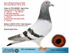 TR-19-059040 DİŞİ / YARIŞMIŞ - 252. FİNAL 505 OLR KALİMANCİ 2019