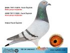 TR-19-108383 DİŞİ / FARUK ÖZYÖRÜK YARIŞCI KUŞLARINDAN ÇIKMA