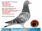 TR12-000307 DİŞİ / DİEGO - SCORPİON - JOS THONE MARATON