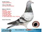 TR13-045801 ERKEK / KENDİSİ OLR EGE DERBY YARIŞMIŞTIR - JOS THONE