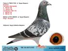 TR14-037155 DİŞİ / SCORPİON - DİEGO ( MARATON )