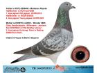 TR14-037273 DİŞİ / BABASNIN YARI KAN KARDEŞİ 1. AS GÜVERCİN UCPR