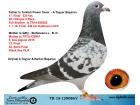 TR15-129086 DİŞİ / DEDEİ KALİMANCİ ŞAMPİYONU ANNEANESİNİN YUVA KARDEŞİ ALGARVE ŞAMPİYONU