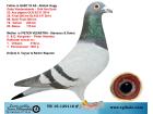 TR15-129116 ERKEK / BABASI 25 FİNAL 505 KM ANNESİ % 100 KOOPMAN CİNGÖZ BABAANNESİ