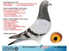 TR16-044246 DİŞİ / MISTER KALIMANCI ÖZ TEYZESİ - GERRİT BOLT KIZI