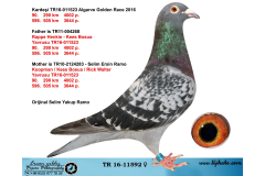 TR16-11592 DİŞİ / KARDEŞİ 90.  290 KM 4002 ALGARVE GOLDEN R.  KEES BOSUA - KOOPMAN