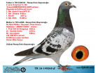 TR16-149265 ERKEK İ / BABASI KOOPMAN % 100 ANNESI R. WALTER -REYNAERT- K BOSUA