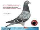 TR17-111066 DİŞİ / BABASI GABY VANDEABEELE ANNESİ VAN DYCK - M. WOUTERS
