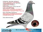 TR17-146173 DİŞİ / ORJ ALİ AKTAŞ KARDEŞİ REİS 12 FİNAL - 3 AS & BİR ÇOK ŞAMPİYONUN SOYU