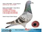 TR17-147290 DİŞİ / VAN LOON - JAN V.D. PASCH ANNESİ 2 AS GÜVERCİN YAVRUSU