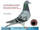 TR18-070066 DİŞİ / BABASI GABY VANDEABEELE ANNESİ GABY-VAN DYCK-M WOUTERS