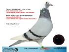 TR18-070705 DİŞİ / BABASI GABY VANDENABEELE ANNESİ MİMAR SİNAN YARI KARDESİ