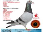 TR18-073406 Duman / Erkek - Anne'den Kardeşi Derby 16 1. As güvervcin 5x5 3. Hız güvercini